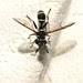 Polybiomyia sp. Flower Fly, Ceriini