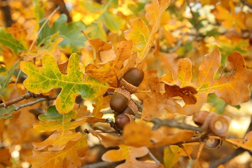 Golden Leaves and Acorns