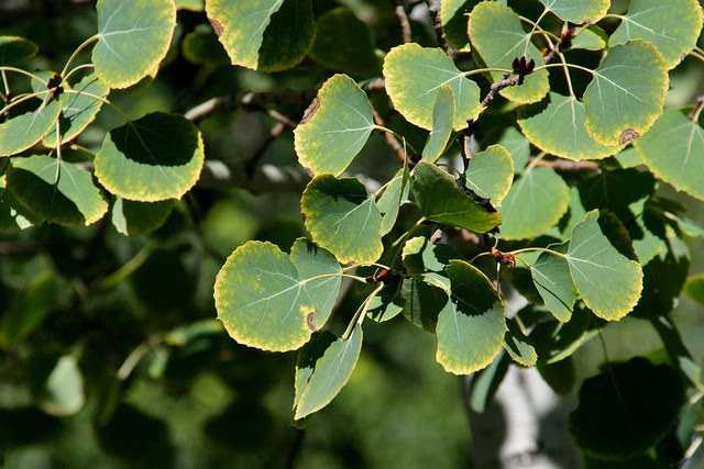 Early Autumn Aspen