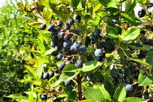 02-Uveira da Serra (Vaccinium padifolium)