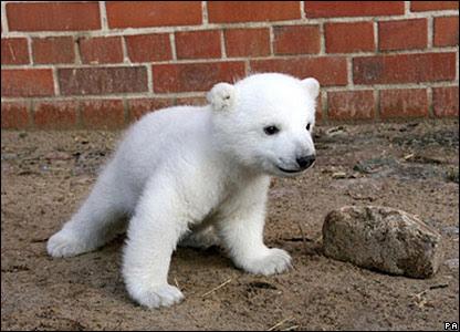 Knut the polar bear cub hit