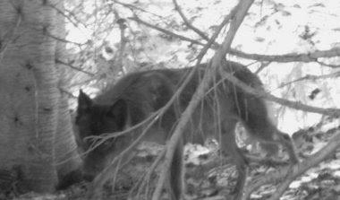 lactatingwolf.jpg