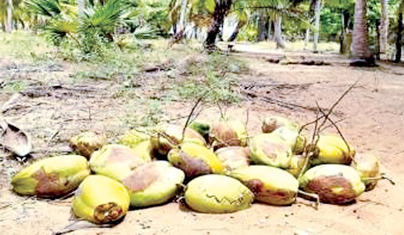 SATHOSA TO SELL COCONUTS AT REDUCED PRICES