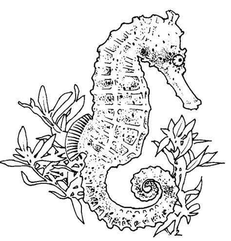 seahorse coloring pages coloringpages