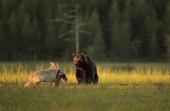 rare-animal-friendship-gray-wolf-brown-bear-lassi-rautiainen-finland-10