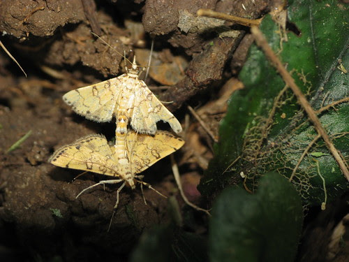 Unknown Moth Mating