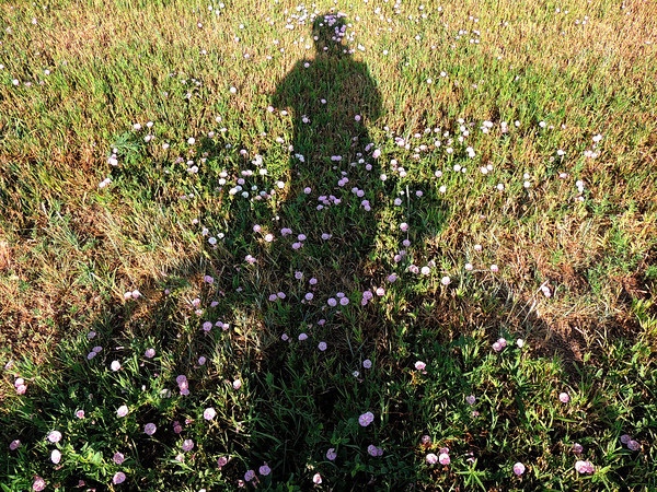 bindweed shadow