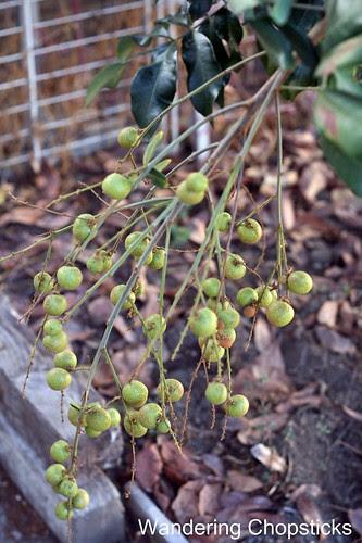 11.13 Longan Blossoms & Fruit 5