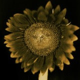 Untitled (Sunflower)