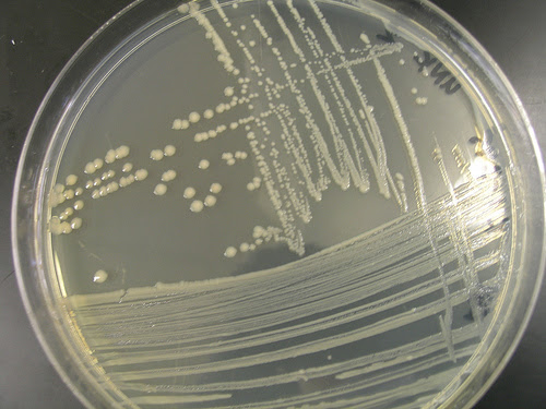 How did <em>E. coli</em>  get named K-12 ?