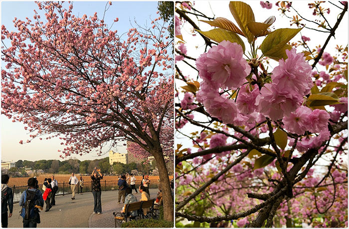 Cherry Blossoms Philippines