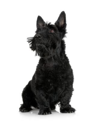The Scottie has been the inspiration for many craft activities.