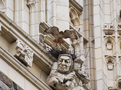 CCNY Red-Tail Nest