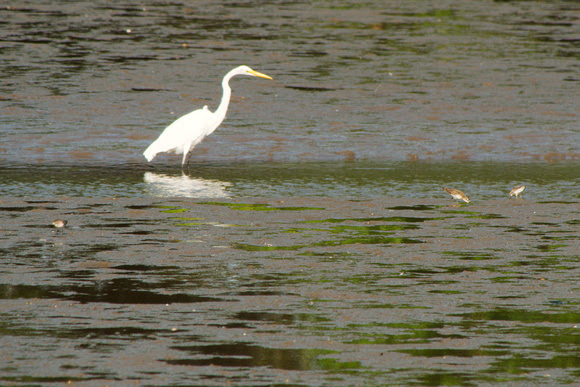 Ed Gaillard: birds &emdash; Great Egret and sandpipers, Spuyten Duyvil Creek, Inwood Hill Park