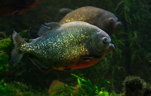 Thoughts on Smuggled Piranhas