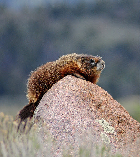 Marmot Rocking Out