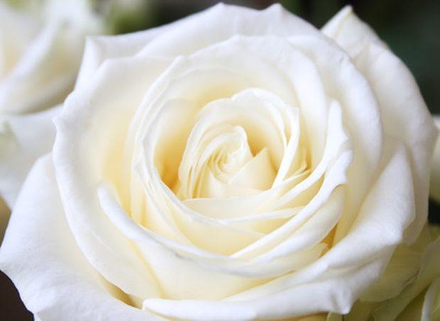 El Significado De Soñar Con Rosas Blancas