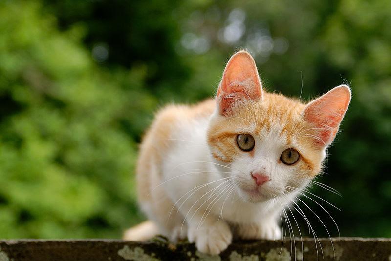 File:Golden tabby and white kitten n03.jpg