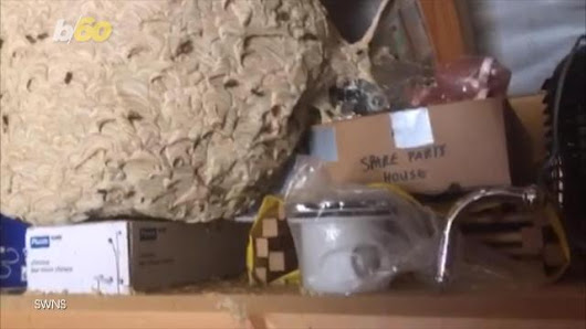 Huge wasp nest will haunt your dreams