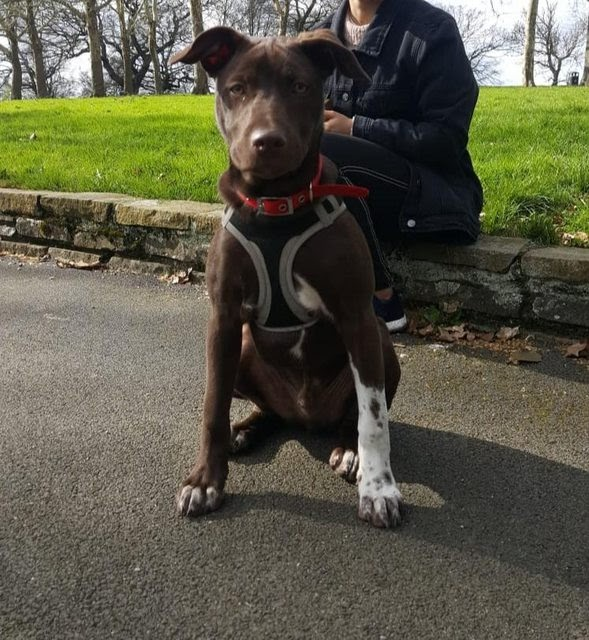 Louie – 5 month old male Pointer Cross