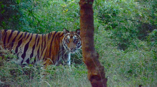Tigers In the Wild: Tiger Safaris in India - The Mad Traveler
