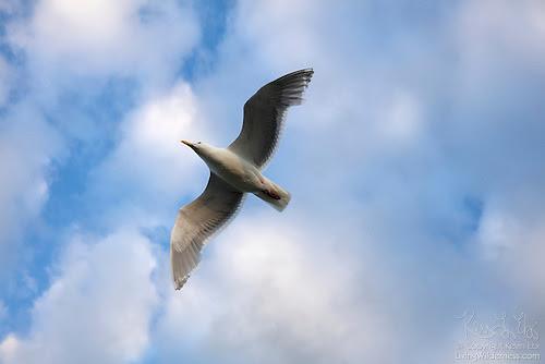 Western Gull in Flight, Edmonds, Washington