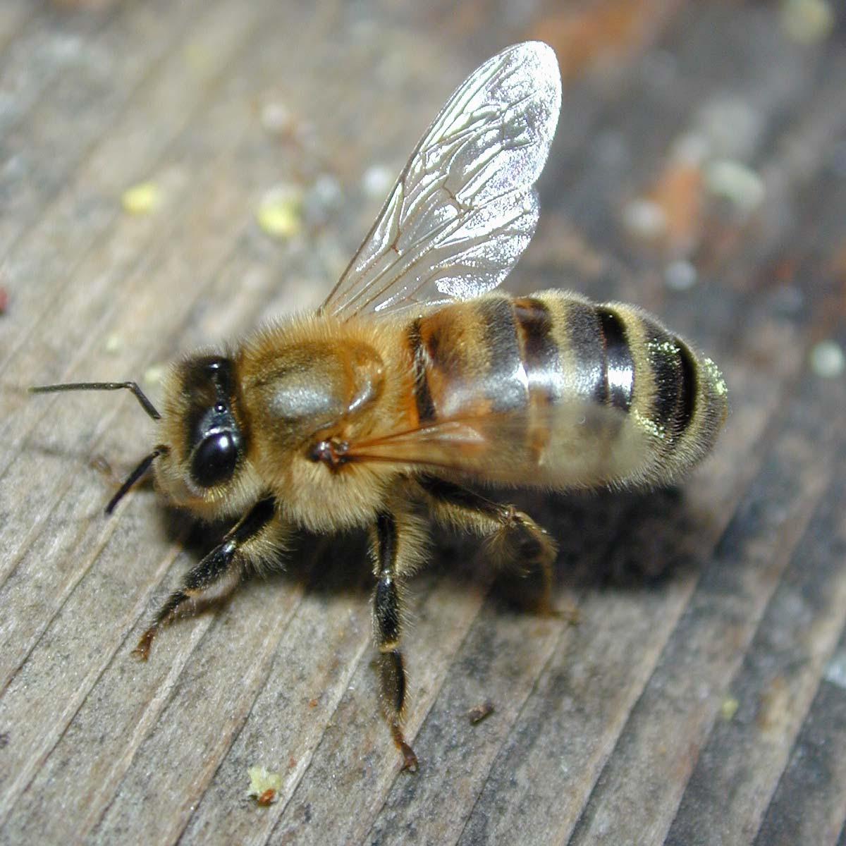 http://www.wmconnolley.org.uk/bees/DSCN6624-bee-close_1200x1200.JPG