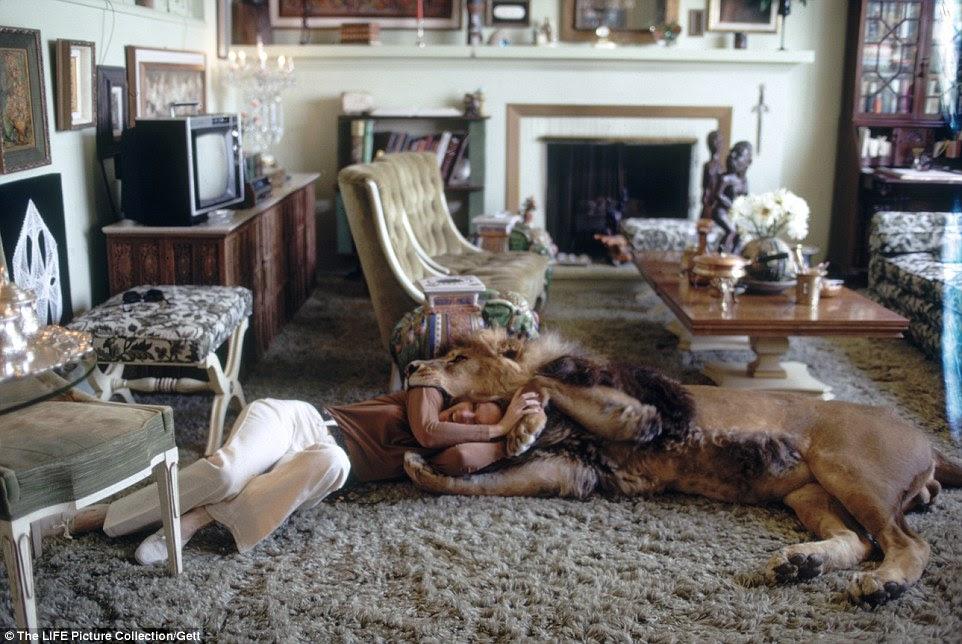"""Grappling: Hedren assume Neil em uma partida de luta livre de aparência perigosa no chão de sua casa na Califórnia.  Ela agora diz que se arrepende de deixar o animal enorme ficar em sua casa admitindo que """"nós éramos estupidos além da crença"""""""