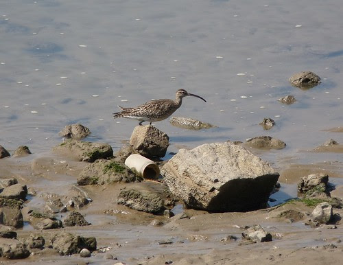 12273 - Whimbrel at Burry Port