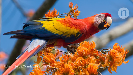 Americans farmed a huge and raucous parrot a millennium ago : Research Highlights