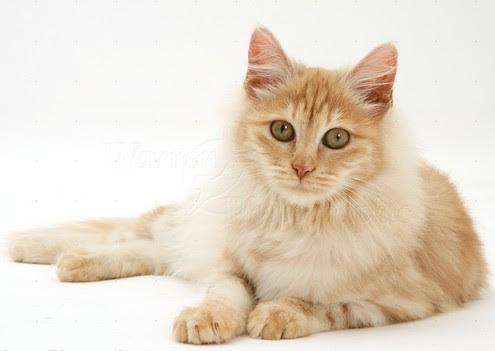 Unduh 68+  Gambar Kucing Anggora Tercantik Lucu Gratis