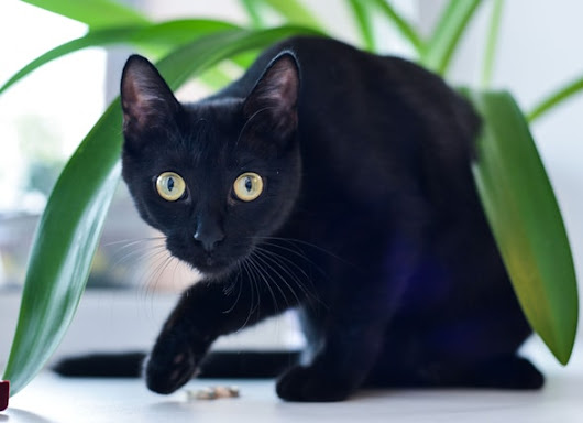 6 Hair-Raising Facts About Black Cats