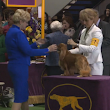Wholecolor Cavaliers Stole the Show at Westminster! - Cavalier King Charles Spaniel Blog - Mokido