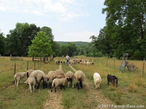 Heading out to the front field after working the sheep 2 - FarmgirlFare.com
