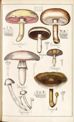 Compestris, Pudicus, Silvicola, Obturatus et al spp.