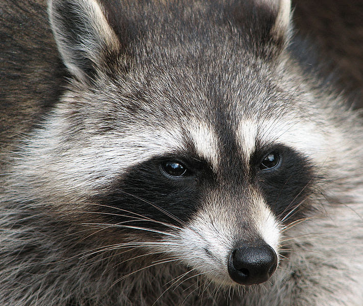File:Raccoon (Procyon lotor) 2.jpg