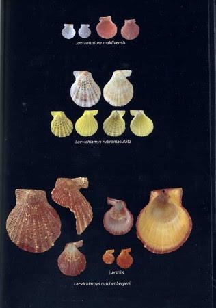 Seashells Of The Egyptian Red Sea