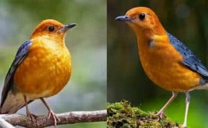 Musim hujan yang datang di penghujung tahun ini seolah menjadi berkah tersendiri bagi pemi 12 Cara Merawat Burung Anis Merah Agar Cepat Bunyi