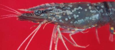 Affects of White Spot Syndrome Virus (WSSV) in Shrimp Farming (Part 3)