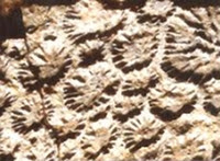 Pele de dinossauro fossilizado