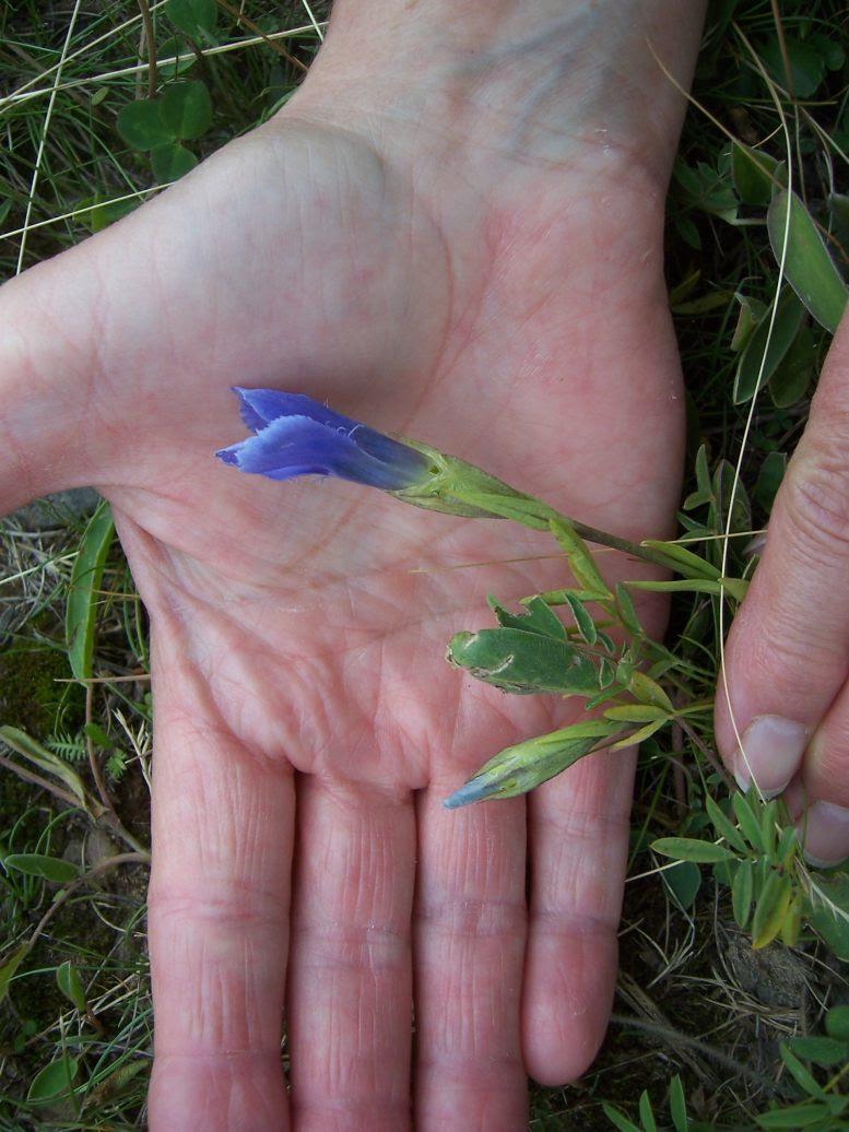 Fleur sauvage : gentiane ciliée - gentianella ciliata