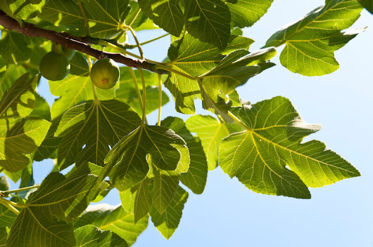 Though the Fig Tree Shall not Blossom | Glory & Grace Daily