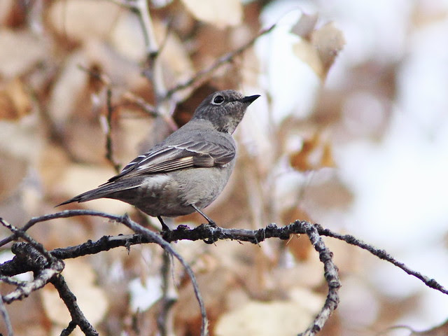 Townsend's Solitaire 20131105