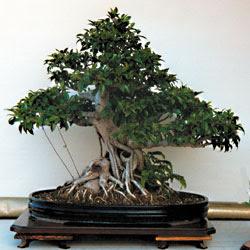 Il ficus classico bonsai da interno riesce a vegetare for Ficus benjamin potatura