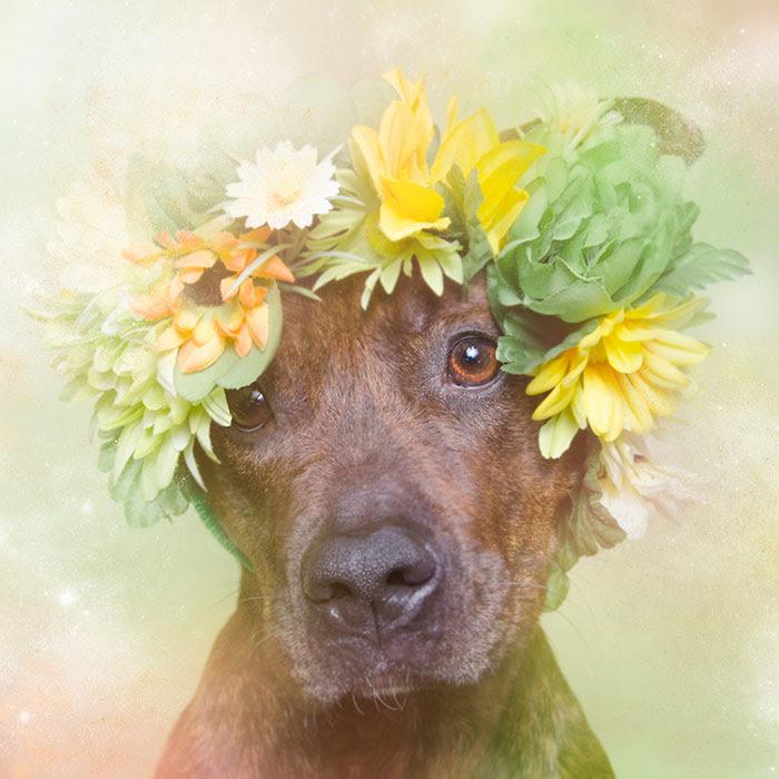 flower-power-pit-bulls-dog-adoption-photography-sophie-gamand-5