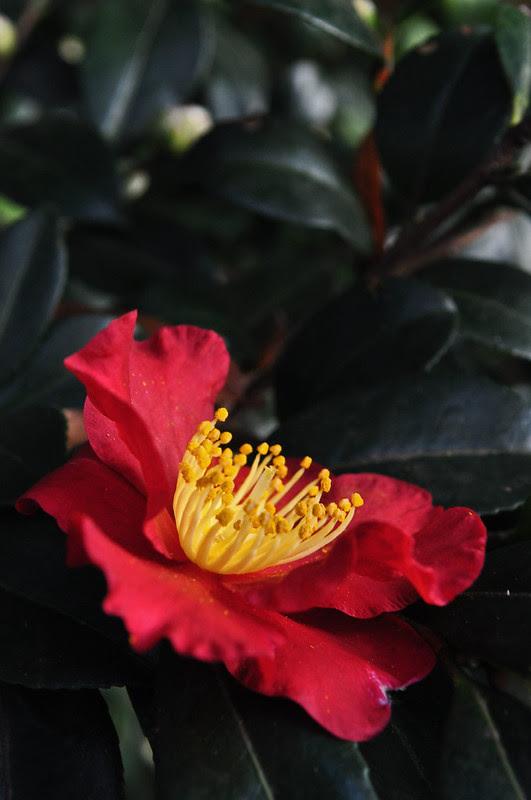 Camellia sasanqua 'Yuletide'