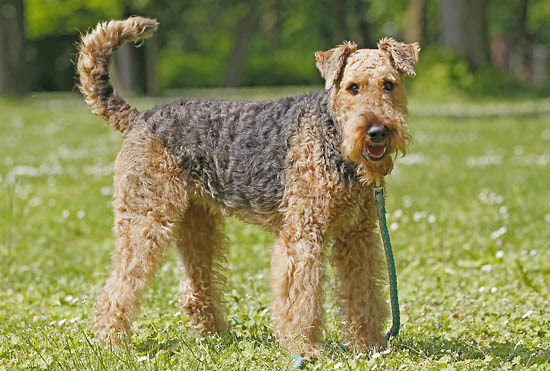 Airedale Terrier  Dog Breed history and some interesting facts