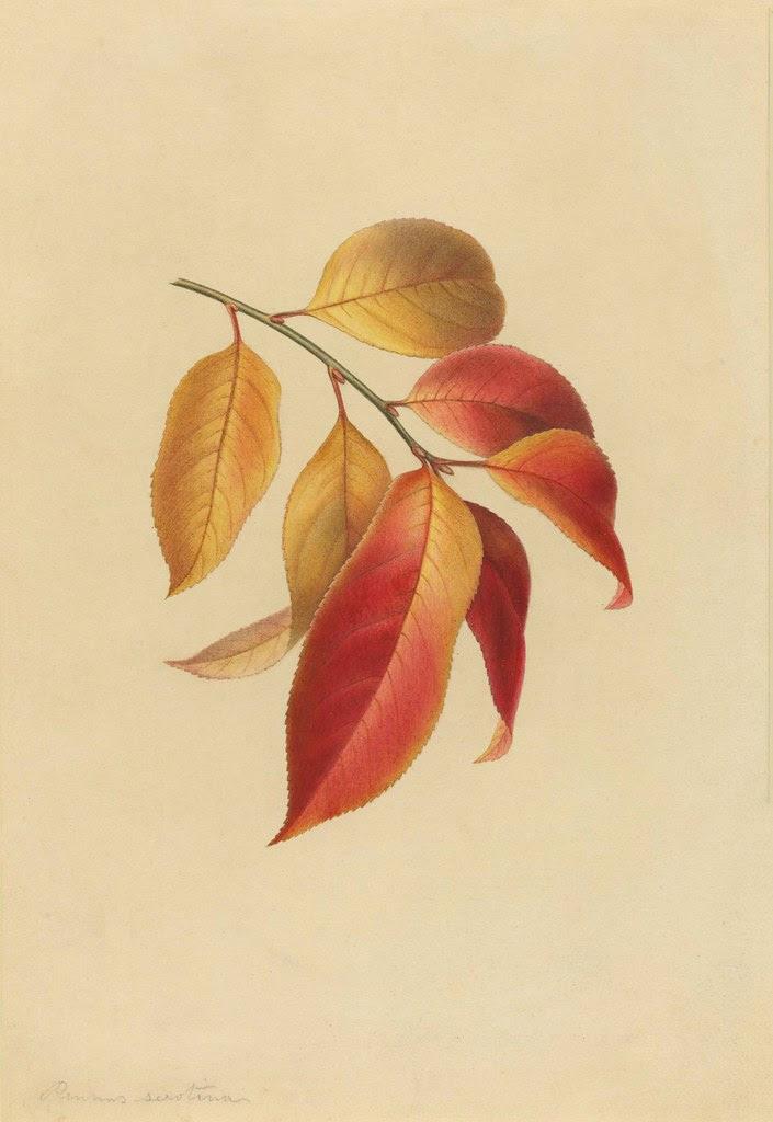 watercolour sketch of black cherry branch