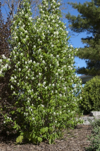 Standing Ovation Serviceberry is the March 2018 Plant of the Month