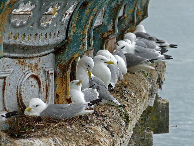 24472 - Kittiwake, Mumbles Pier